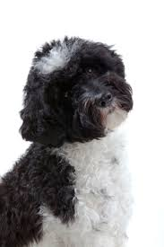 All Dog Breeds That Dont Shed by 510 Best The Bark Around The Park Images On Pinterest Animals