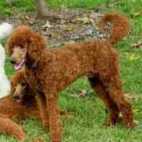Large Dogs That Dont Shed by Dog Breeds That Don U0027t Shed Hypoallergenic Dogs