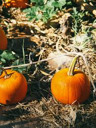 Denver Downs Pumpkin Patch Hours by The Pearl Street Pumpkin Patch Quick Balsamic Pickled Beets Oh