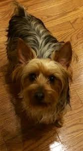yorkiepoo this mixed dog does not shed does not bark and would