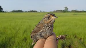 Molting And Migration | Saltmarsh Habitat & Avian Research Program Best 25 Sparrow Bird Ideas On Pinterest Sparrows Small Sparrow Pretty Birds House Urban Noise Killing Baby House Sparrows Bbc News Bird Sing Pennsylvania Barn Golondrina Canto Swallow Mike Powell Wedding Venue The White 23 Best Event Space Barn Images Weddings Tattoos By Chronoperates Deviantart For The Barn Wedding Dallas Planner Grit Baby Puffcat