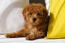 No Shed Small Dogs by Top 10 Expensive Dog Breeds
