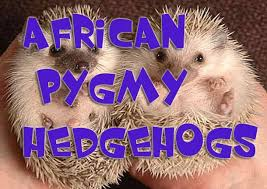 17 best african pygmy hedgehogs images on pinterest africans