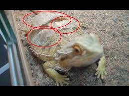 what to do when your bearded dragon is shedding skin youtube