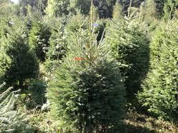 Christmas Tree Seedlings by Norway Spruce Christmas Tree Picea Abies Grown In Denmark