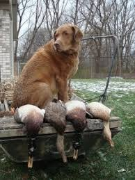 Chesapeake Bay Retriever Vs Lab Shedding by Best 25 Duck Retriever Ideas On Pinterest Nova Scotia Duck