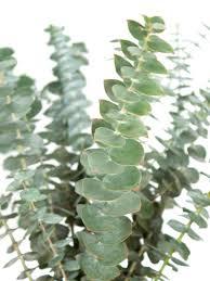 eukalyptus baby blue silber grün bestellen blumigo
