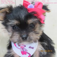 Morkies Do They Shed by Www Ohpuppylove Com Morkie Shorkie Maltipoo Breeder Puppies