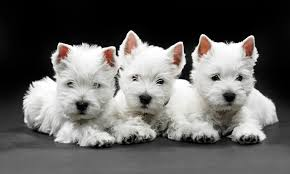 Terriers That Dont Shed by West Highland Terrier Best Of Small White Dog Breeds Westie Charm