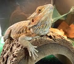 100 bearded dragon heat l wattage t8 reptisun 5 0 uvb