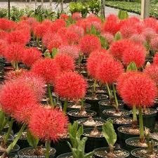 haemanthus football may flower flower bulbs buy