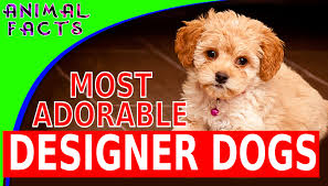 Do Cockapoo Mixes Shed by Today U0027s Most Adorable Designer Dog Breeds Cutest Dogs 101 Popular