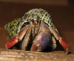 Do Hermit Crabs Shed Their Legs by Love In The Time Of Hermit Crabs It U0027s Lisa U0027s Blog