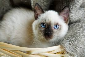 cat names 60 sassy siamese cat names pethelpful