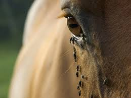 Reduce Flies On Your Horses And Property - The #1 Resource For ... Defeat The Enemy Fly Control Options For Horse And Barn Music Calms Horses Emotional State The 1 Resource Breyer Crazy In At Schneider Saddlery Horsedvm Controlling Populations Around Oftforgotten Bot Equine Dry Lot Shelter Size Recommendations Successful Boarding Your Expert Advice On Horse 407 Best Barns Images Pinterest Dream Barn Barns A Management Necessity Owners Beat Barnsour Blues Care Predator Wasps Farm Boost Flycontrol Strategies Howto English Riders