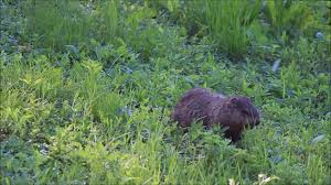 This Groundhog Living In My Backyard. Http://ift.tt/2tddZqi | Cute ... More 25 Marauder Groundhogs And Predator Action Airguns Guns Best Baby Groundhog Ideas On Pinterest What Is A Its Like To Plant Backyard Vineyard Wine Enthusiast Magazine Groundhog Day Walks The Backyard Youtube April 2013 Christfaithpower Mdwildlife Ungardened Moments A Wombat In Our Search Results The Smell Of Molten Projects How Do You Keep Groundhogs Out Of Garden Home Outdoor Decoration Tree River June Glassblowerinfo Animals Holland Bucks County Theyre Back Wildlife Removal Joplin Neosho Carthage Mo