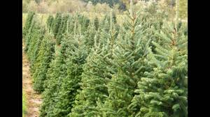 Balsam Christmas Trees Real by Real Christmas Trees Youtube