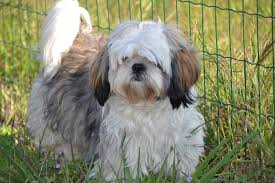 Cute Non Shedding Dog Breeds by Small Dog Breeds That Don U0027t Shed U2013 17 Dogs You U0027ll Adore