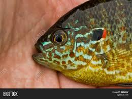 Pumpkin Seed Sunfish Pictures by Colorful Pumpkinseed Sunfish Image U0026 Photo Bigstock