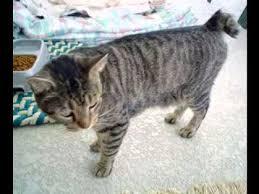 bobtail cat american bobtail cat