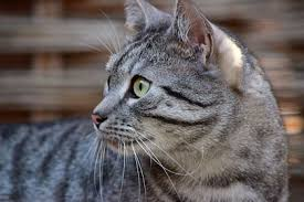 fatty liver cats hepatic lipidosis fatty liver disease in cats cat world
