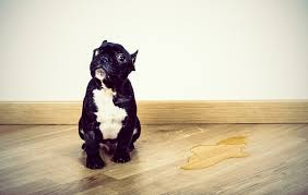 Dog Urine Wood Floors Vinegar by How To Get Dog Or Cat Urine Smell Out Of Hardwood Floors