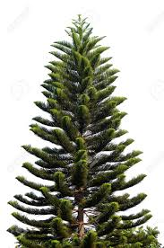 Silvertip Fir Christmas Tree by Christmas Tree Isolated On A White Background Without Any