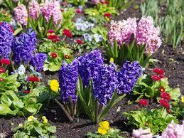 how to grow hyacinths saga