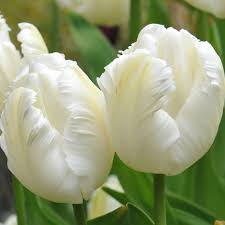 buy parrot tulip bulbs tulipa white parrot delivery by waitrose