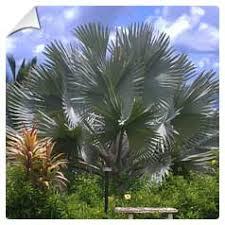 prix des palmiers exterieur achat du cocotier ou palmier du chili acheter au meilleur prix de