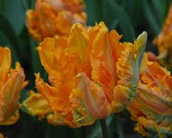 tulip princess irene parrot bulbs buy at farmer gracy uk