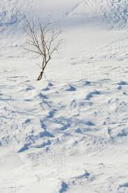 Leafless Tree Sticks Out Of A Snow Drift At Hatcher Pass During Winter In Southcentral Alaska