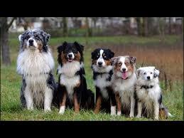 berger australien tout savoir sur cette race de chien australian