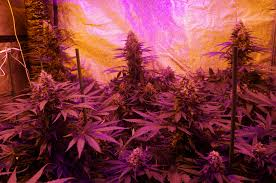 refroidir chambre de culture comment faire pousser du cannabis le guide définitif