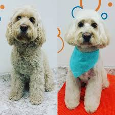 Large Non Shedding Dogs Pictures by Grooming Menu