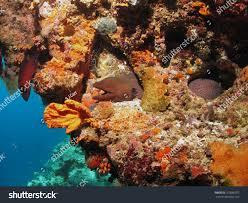 100 W Retreat Maldives Giant Moray Eel On Fesdu House Stock Photo Edit Now 103886972