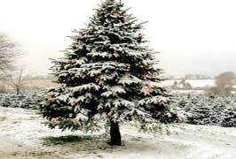 Christmas Tree Saplings Ireland coillte christmas tree species in ireland