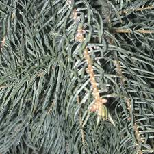 Best Smelling Type Of Christmas Tree by Types Of Trees Galehouse Tree Farm