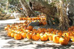 Pumpkin Patch Irvine University by U Pick Vegetables At Tanaka Farms U0027 Pumpkin Patch In Irvine