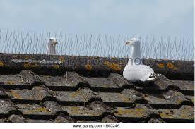 bird spikes stock photos bird spikes stock images alamy