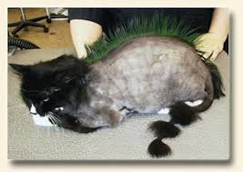 Excessive Hair Shedding In Cats by Should I Shave My Cats Catster