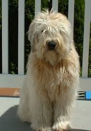 Big Dogs That Dont Shed Badly by Whoodle Poodle Wheaten Terrier Wheaten Terrier Poodle And