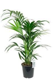 kentia palme zimmerpflanze 160 cm kaufen