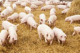 Pig Farming In Kenya & The Secrets Of Making Millions [step By ... Pin By Pat Wozniak On Pork Pinterest Business Planning Afc Pig Farm Ecomavrovic How To Raise Pastured Pigs Without Buying Feed Httpwww Tammi Jonas Food Ethics Farming Plan Sample Dsc Raising Pros Cons The Prairie Homestead Figueroa Breeding Gguinto Bulacan Youtube Gloucestershire Old Spot Pigs And That Farm There Was To Make Your Own Pig Feed The Organic Farmer Heaven What Makes Free Range Different Downtoearth 54 Best Images Farming Backyard In Nigeria Detail Post Practical Traing Its Time Front Yard Farmer