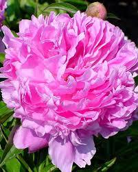 pivoine herbacee en pot rhizome pivoines herbacees paeonia lactiflora vendus chez le