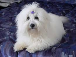 Hypoallergenic Non Shedding Small Dog Breeds by 19 Best Hypoallergenic Dog Breeds Images On Pinterest