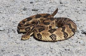 rattlesnake rattle roads end naturalist
