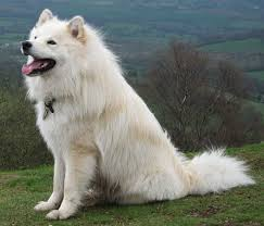 Do Samoyeds Shed All The Time by The Ultimate Finnish Lapphund Food Buyer U0027s Guide Dog Food Guru