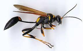 wasps ecopoise pest hygiene