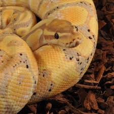 Ball Python Bedding by Guide To Keeping A Royal Python Monkfield Nutrition Monkfield